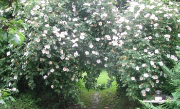 rosa canina, le sauvage cultivé